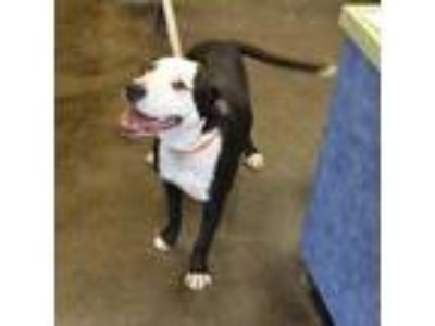 Adopt Found stray: Tori a Black Pit Bull Terrier / Mixed dog in Rockwall
