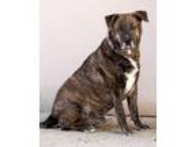 Adopt Buddy a Staffordshire Bull Terrier, Mixed Breed