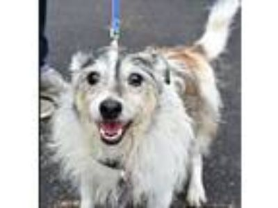 Adopt Scruffy a Wirehaired Terrier, Jack Russell Terrier