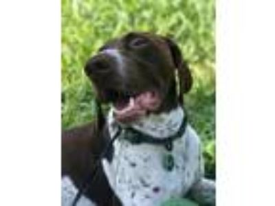 Adopt Ottis a German Shorthaired Pointer