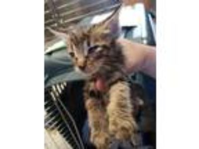 Adopt Gilligan a Brown or Chocolate Domestic Shorthair / Domestic Shorthair /
