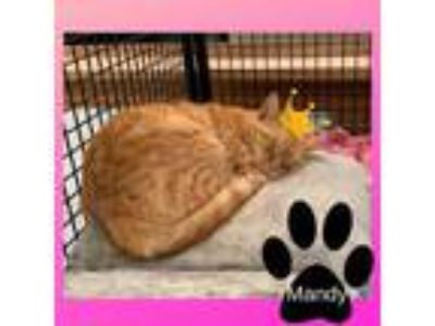 Adopt Mandy a Domestic Short Hair