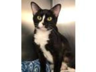 Adopt Nora a All Black Domestic Shorthair / Domestic Shorthair / Mixed cat in
