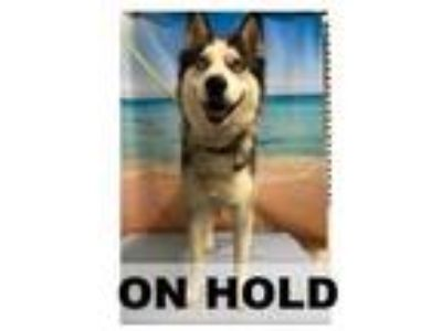 Adopt TORI a Gray/Blue/Silver/Salt & Pepper Husky / Mixed dog in Tangent