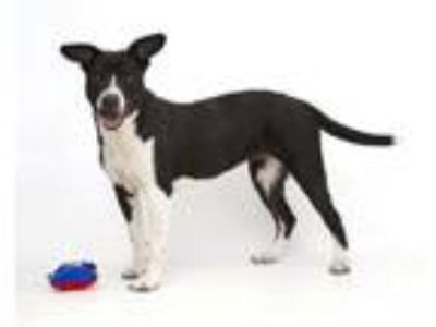 Adopt LILLIAN a Border Collie, Mixed Breed