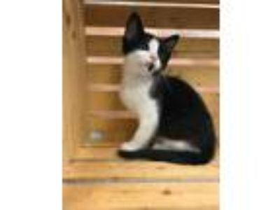 Adopt LITTLE MEW a All Black Domestic Shorthair / Domestic Shorthair / Mixed cat