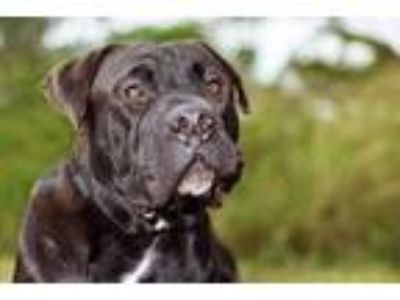 Adopt Gerald a Black Mastiff / Mixed dog in Loxahatchee, FL (23732495)