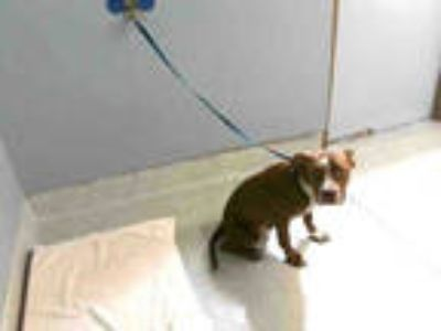 Adopt RUSS a Red/Golden/Orange/Chestnut - with White American Staffordshire