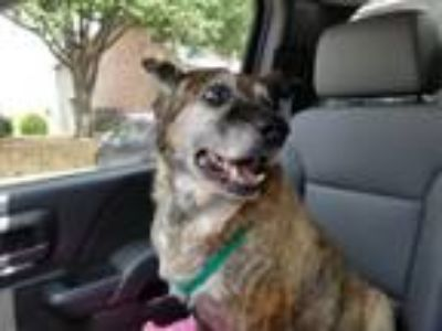 Adopt CINNABON a German Shepherd Dog, Boxer