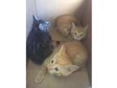 Adopt Kitten3 a Gray or Blue Domestic Shorthair / Domestic Shorthair / Mixed cat