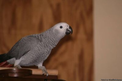 African Grey Parrots Ready for new homes now.