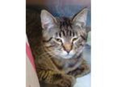Adopt Rodderick a Brown Tabby Domestic Shorthair / Mixed cat in St.