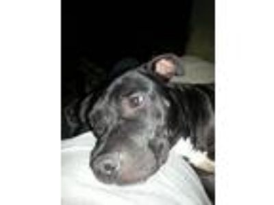 Adopt Coal a Pit Bull Terrier / Mixed dog in Orlando, FL (23498137)