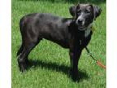 Adopt Casper a Black - with White Labrador Retriever / Blue Heeler / Mixed dog