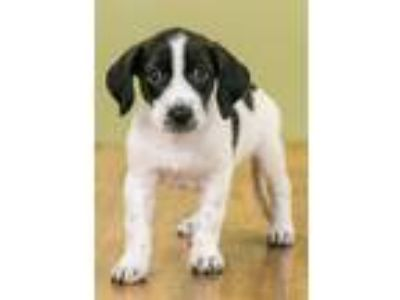 Adopt Hershey Bar a Pointer, Mixed Breed