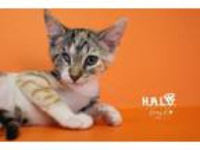 Adopt Apricot a Domestic Short Hair