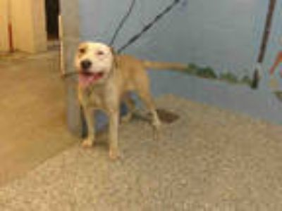 Adopt a Tan/Yellow/Fawn - with White American Pit Bull Terrier / Mixed dog in