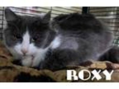 Adopt Roxy a Gray or Blue Domestic Mediumhair / Domestic Shorthair / Mixed cat