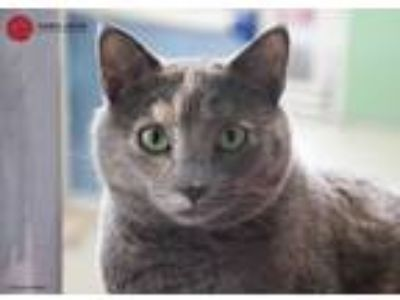 Adopt Taffy a Tortoiseshell Domestic Shorthair (short coat) cat in St Louis