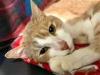 Adopt Brother Luck a Domestic Shorthair / Mixed cat in Santa Rosa, CA (25363702)