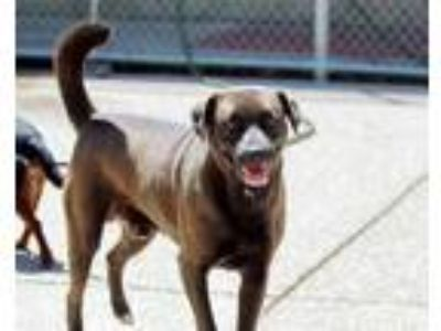 Adopt Star-Lord a Brown/Chocolate Mixed Breed (Large) / Mixed dog in Charleston