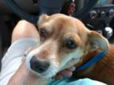 Adopt Gordy a Tan/Yellow/Fawn - with White Shiba Inu / Mixed dog in Key Largo