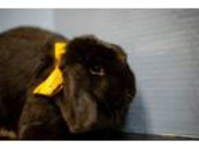 Adopt Thumper a Bunny Rabbit, Lop Eared
