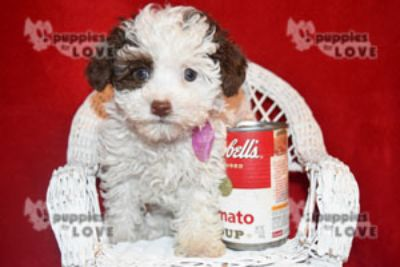 Poodle (Toy) PUPPY FOR SALE ADN-72554 - TCUP AKC  FULL REGISTRATION