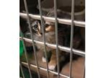 Adopt Kahlua (TAS #9) a Calico or Dilute Calico Domestic Longhair / Mixed (long