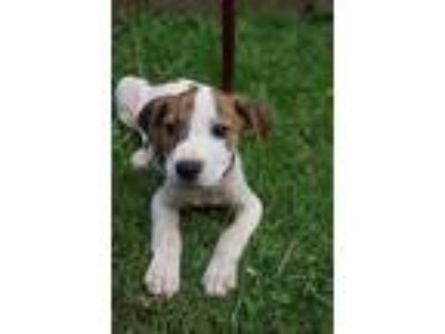 Adopt Basil a White - with Brown or Chocolate Boxer / Beagle / Mixed dog in West