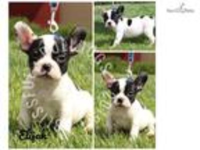 Brindle Pied Male French Bulldog Puppy