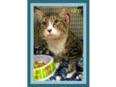 Adopt Uno a Domestic Medium Hair