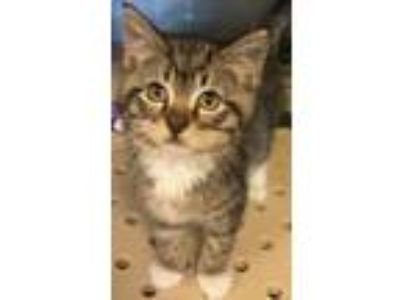 Adopt Eddie a Domestic Short Hair