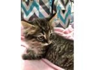 Adopt CHIPPER a Gray, Blue or Silver Tabby Maine Coon (medium coat) cat in