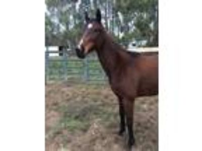 Thoroughbred Mare 14 years old