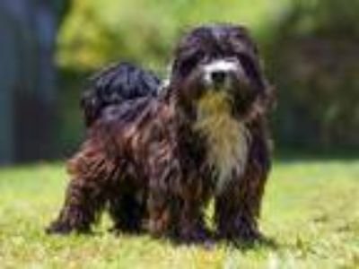 Adopt OREO a Black - with White Poodle (Miniature) / Mixed dog in Long Beach