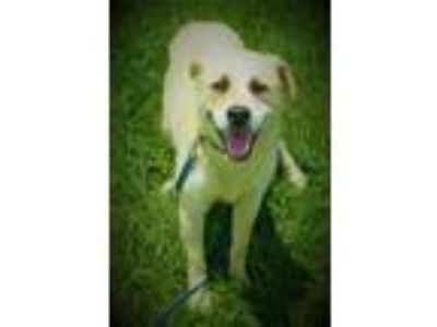 Adopt Willy a Tan/Yellow/Fawn - with White Great Pyrenees / Mixed dog in