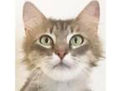 Adopt Montrose a Gray, Blue or Silver Tabby Maine Coon (long coat) cat in Flower