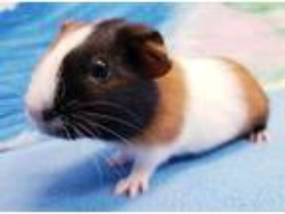 Adopt Tot a Brown or Chocolate Guinea Pig / Guinea Pig / Mixed small animal in