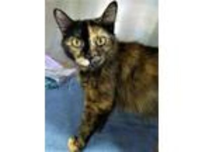 Adopt Persephone a Domestic Medium Hair