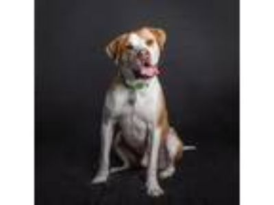 Adopt Leroy a Hound (Unknown Type) / Pit Bull Terrier / Mixed dog in St.