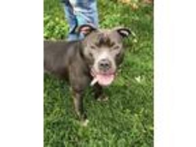Adopt Angus a Pit Bull Terrier