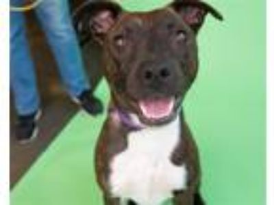 Adopt Reyna a American Pit Bull Terrier / Boxer / Mixed dog in Pittsburgh