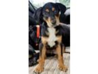 Adopt Yukon a Black - with Tan, Yellow or Fawn Hound (Unknown Type) / Hound