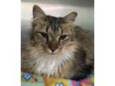Adopt Baby S a Domestic Long Hair