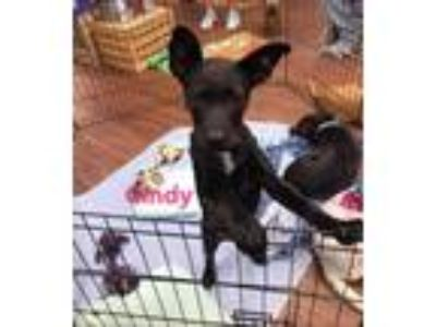 Adopt Cindy Lou a Australian Cattle Dog / Blue Heeler, Labrador Retriever