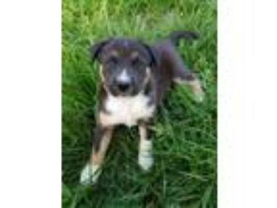 Adopt Tom a Black Australian Cattle Dog / Shepherd (Unknown Type) / Mixed dog in