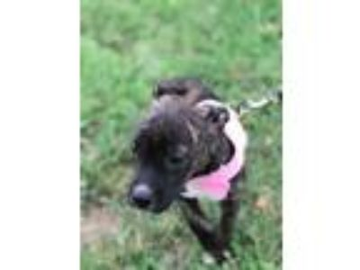 Adopt Zadavia a Brindle - with White Pit Bull Terrier / Mixed dog in Wichita