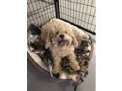 Adopt Daisy a Poodle (Miniature) / Cocker Spaniel dog in Mooresville