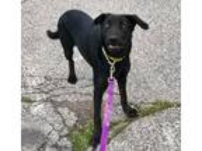 Adopt Shelby a Labrador Retriever / Mixed dog in Pittsburgh, PA (25912663)